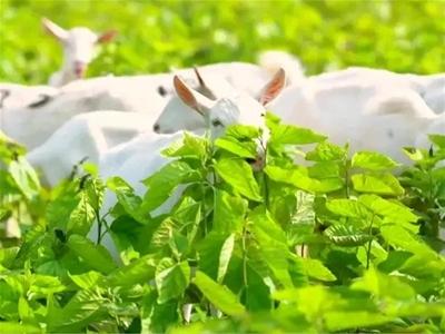 奶源篇   有机珍稀好奶源缔造高端品质好羊奶!